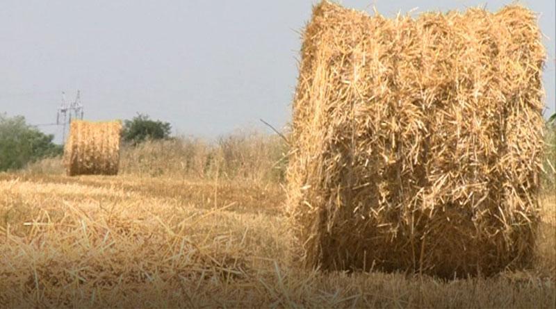 pšenica-7