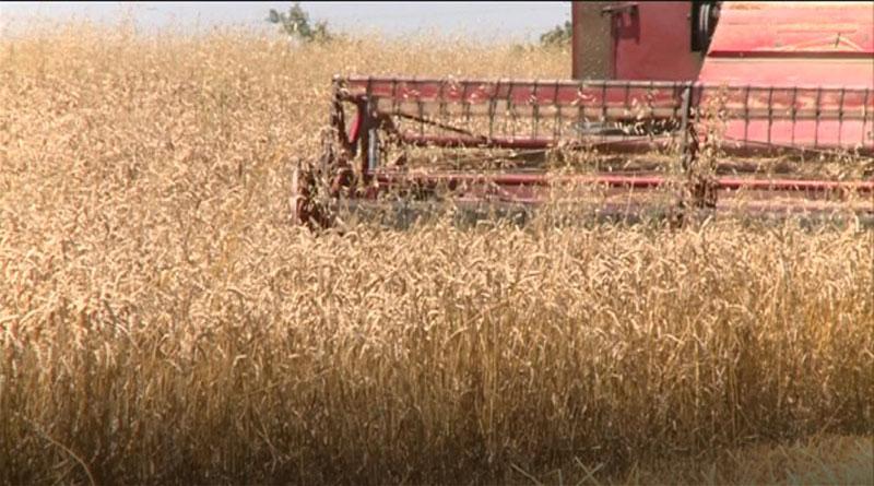 pšenica6