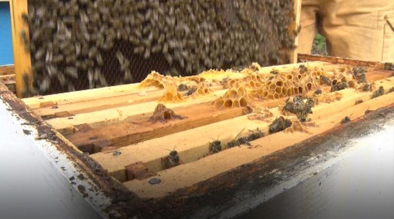 pčelice vrednice